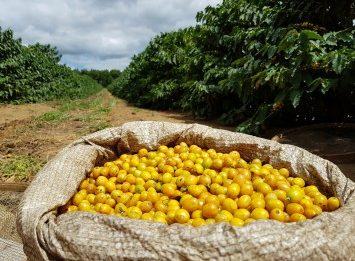 Brasil Yellow Bourbon koffiebonen